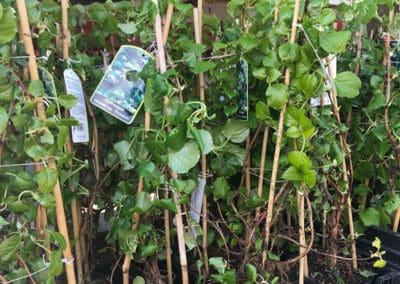 hagesenter-klatreplante