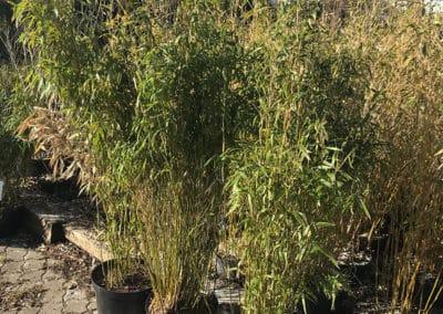 hagesenter-vintergront-bambus