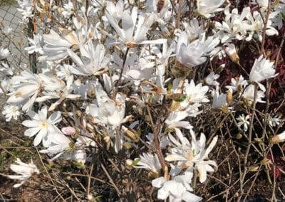 hagesenteret-hvitt-blomstrende-tre