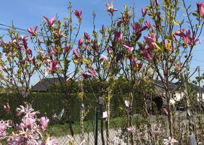 hagesenteret-magnolia