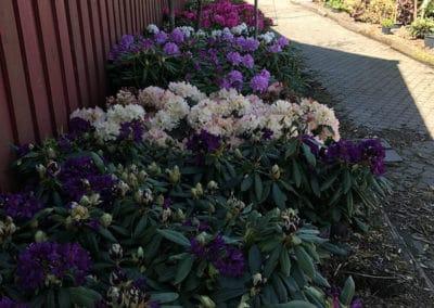 hagesenteret-masse-rhododendron