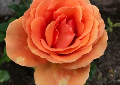 hagesenteret-orange-rose