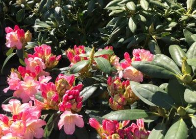 hagesenteret-rhododendron