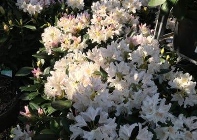 hagesenteret-rhododendron-hvit-rosa