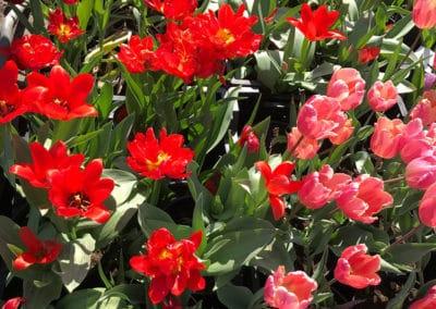 hagesenteret-tulipaner